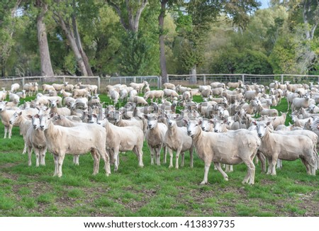 A flock of sheep in the farmland - stock photo