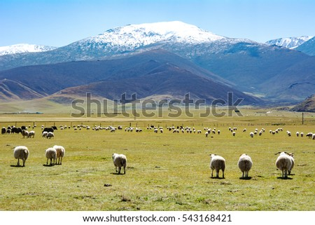 A flock of sheep in the snow mountain leisurely grazing pasture