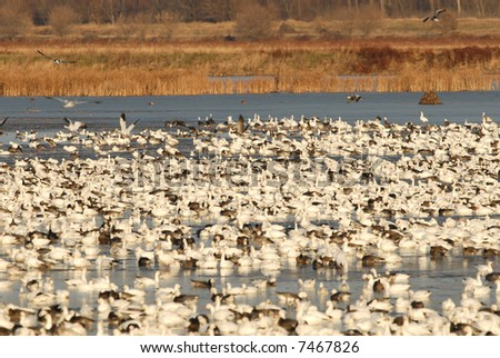 A flock of snow geese fly into and land on the water for the evening roost. - stock photo