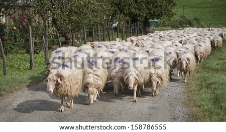 A flock of Spanish sheep on the move back to the farm. - stock photo