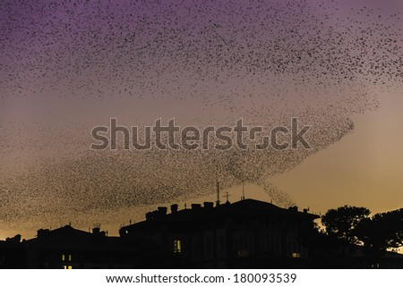 A flock of starlings roosting at sunset above the the rooftops in Pisa, Tuscany, Italy / Roosting starlings - stock photo