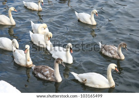 A flock of swans swim on water - stock photo