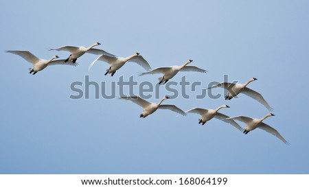 A flock of trumpeter swans flying against a blue sky background - stock photo