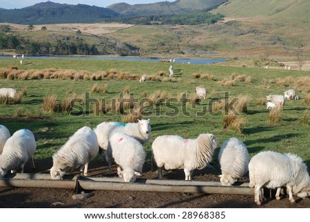 A flock of Welsh hill sheep in the Cambrian mountains.