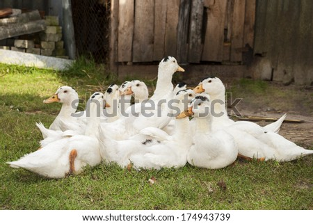 A flock of white ducks sitting on the grass. - stock photo