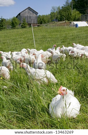 a flock of white farm chickens outside near the barn - stock photo