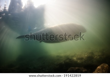 A Florida manatee (Trichechus manatees latirostris) is silhouetted in Crystal River, Florida. The population is dangerously low and is mainly in danger from habitat loss and being struck by boats. - stock photo