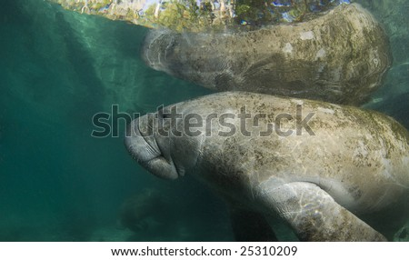 A Florida manatee (Trichechus manatus latirostrus) reflects off the surface of the placid water in the springs of Crystal River, Florida. - stock photo