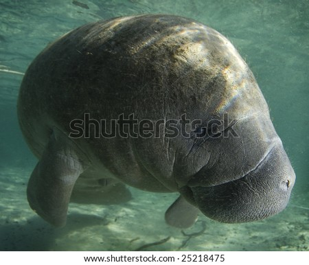 A Florida manatee (Trichechus manatus latirostrus) shows his good side in the springs of Crystal River, Florida - stock photo