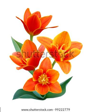 A flower of  liliaceae tulip bouquet - stock photo