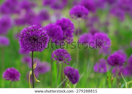 A flowerbed of purple blooming onions - stock photo