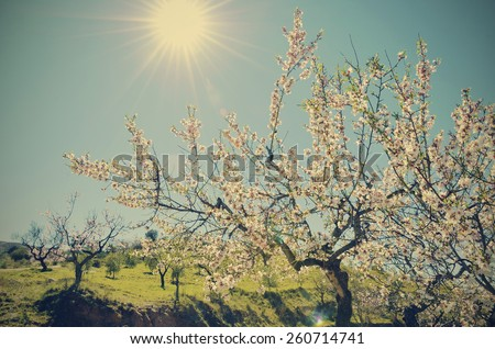 a flowering almond tree - stock photo