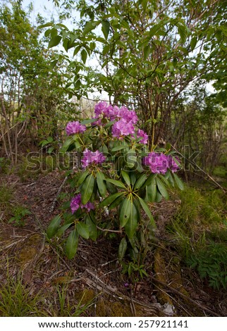 A flowering Rhododendron bush in the Blue Ridge Mountains of North Carolina. - stock photo