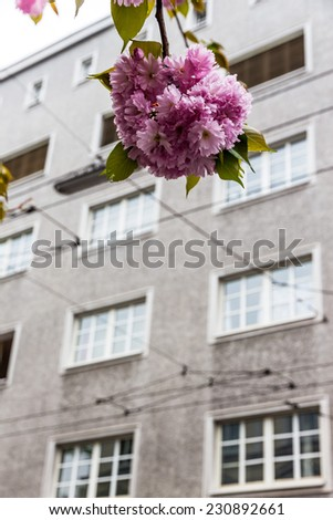 a flowering tree in front of the gray facade of an apartment building - stock photo