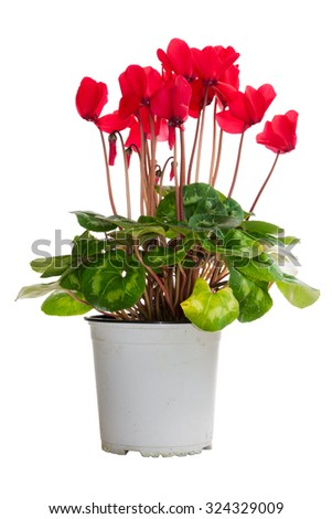 A flowerpot with red cyclamens isolated on white background - stock photo