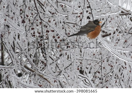 A fluffed up Robin in ice covered branches with frozen berries - stock photo