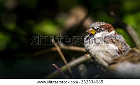 A fluffy sparrow basks in the bushes.