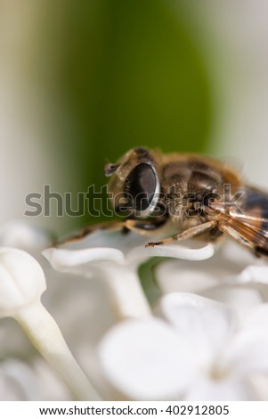 A fly on white lilac