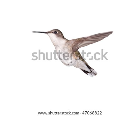 A flying female Ruby-throated Hummingbird isolated on a white background.