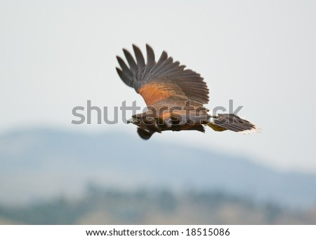 A flying Harris's Hawk in Colorado outside brown - stock photo