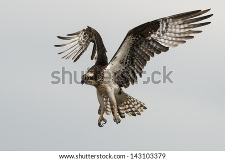 A flying osprey with talons open preparing to land - stock photo