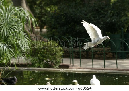 A flying white Pigeon