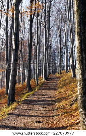 A footpath in a beech forest in autumn (fall) - stock photo