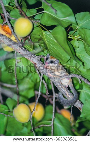 A forest dormouse on an apricot tree with fruit - stock photo