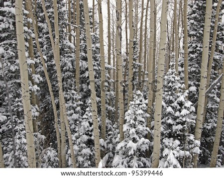 A forest of aspen and fir trees during a winter snow storm. - stock photo