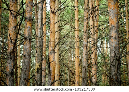 a forest of pine trees - stock photo
