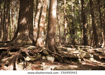 A forest with the roots of trees growing over each other. - stock photo