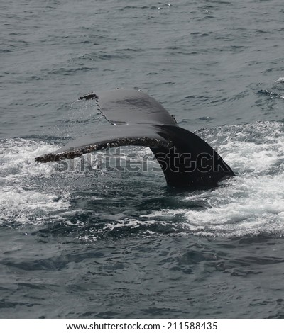 A forked tail is typical of Humpback whales, like this one that is diving - stock photo