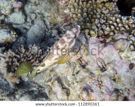 A four-saddle grouper fish swimming on a coral reef.  These fishes are usually found singly on shallow coastal reef crests, slopes and in lagoons. - stock photo
