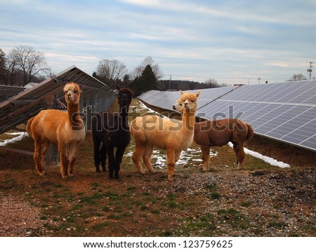 A foursome of adorable, woolly, Alpaca Llamas pose in front of several rows of solar panels with patches of snow on the ground. - stock photo