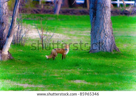 A fox in the woods with green grass looking at the camera. - stock photo