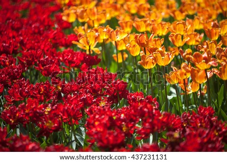 A fragment of orange and red tulips flower bed - stock photo