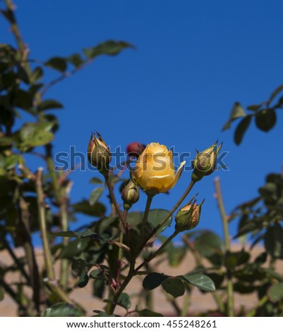 A fragrant romantic beautiful pale yellow  fully blown rose blooming in mid winter   adds fragrance and beauty to the home  garden landscape. - stock photo