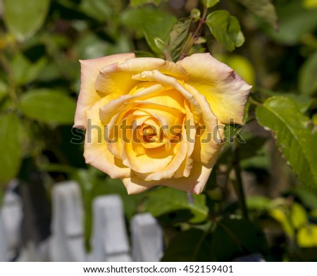 A fragrant romantic beautiful yellow rose blooming in early  winter after a shower of rain  adds fragrance and beauty to the drab  garden landscape. - stock photo