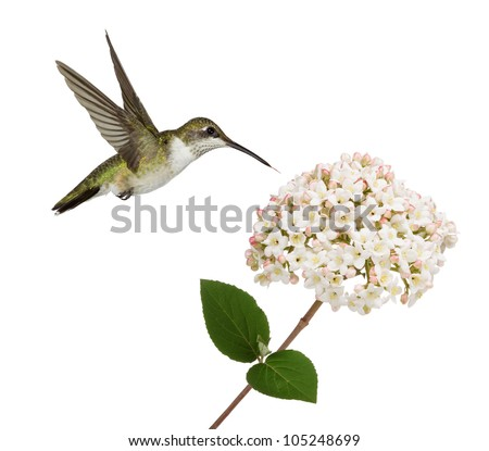 A fragrant waxy white and pink viburnum flower attracts a ruby throated hummingbird. Stopped in mid flight, hummingbird dives into the flower with its tongue leading the charge. On a white background.