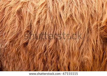 A frame filling shot of some brown highland cow hair.