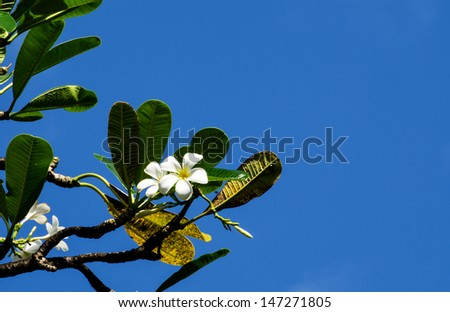 a Frangipani flower on a branch with blue sky in the background