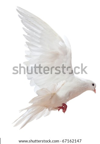 A free flying white dove isolated on a white background - stock photo