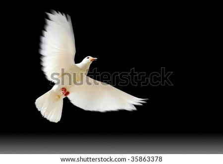 A free flying white dove with a green plant isolated on black background.