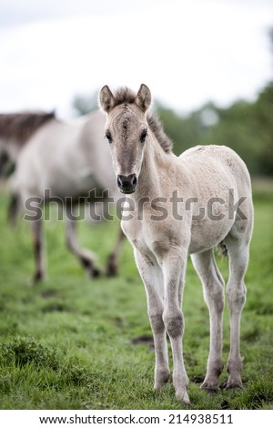 A free-ranging Konik foal with mature wild horses in the background in their open environment at Oostvaardersplassen, holland. - stock photo