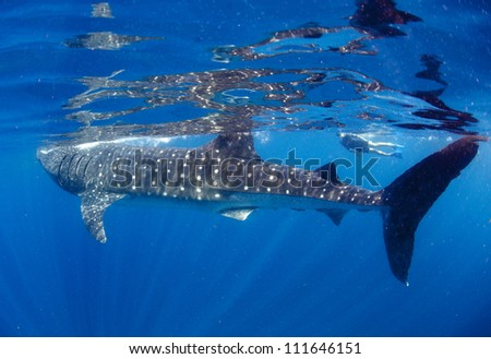 A freediver swims and interacts with a shale shark  (Rhincodon typus) as it slowly swims by as it feeds in the plankton rich waters. - stock photo