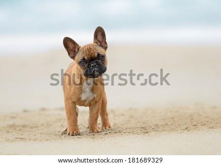 A French bulldog puppy playing at the beach