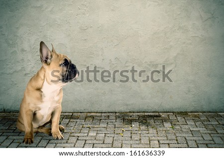 a French bulldog sits on the street - stock photo