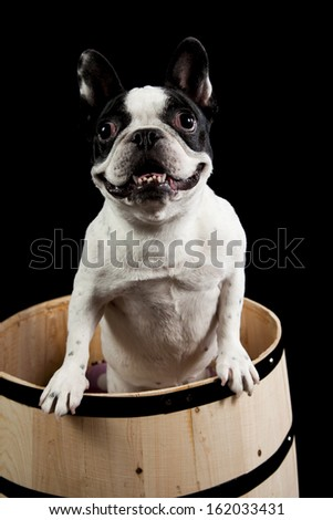 a french bulldog standing in a wooden wine barrel isolated on a black background - stock photo