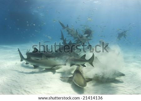 A frenzy of sharks stir up the white bottom as they battle for their share of food - stock photo