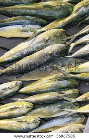 A fresh catch of Mahi Mahi - stock photo